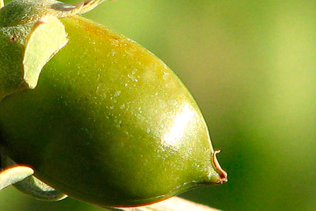 jojoba for cancer, cancer treatments