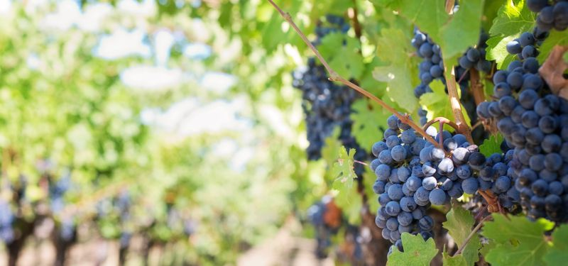 grapes, cancer prevention, anticancer superfoods